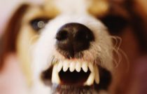 jack-russell-terrier-snarls-research-shows-growls-multiple-dog-to-dog-meanings-278x225-getty-images